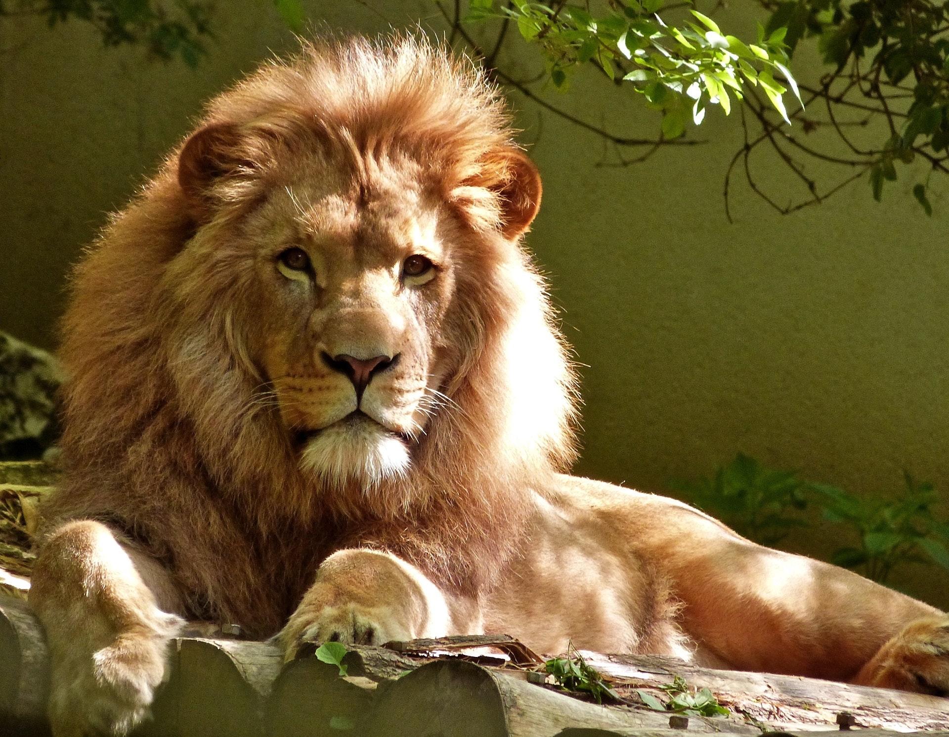 El miedo del león